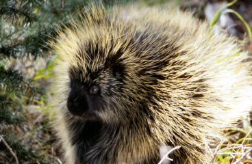 All About Porcupines