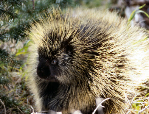 Citizen Science & Porcupines