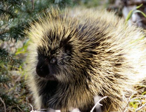 Citizen Science & Porcupines