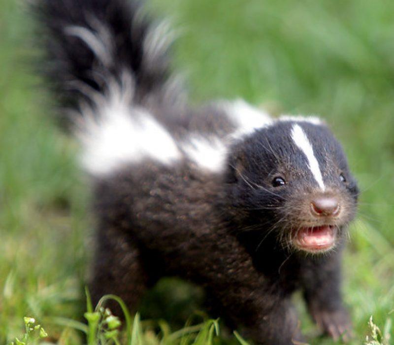 CuteSkunk