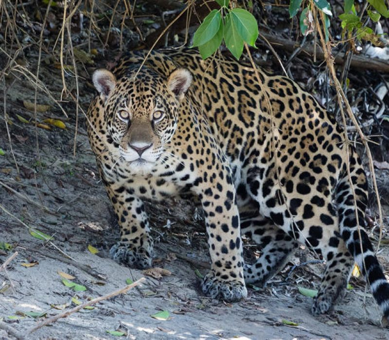The jaguar is critically endangered
