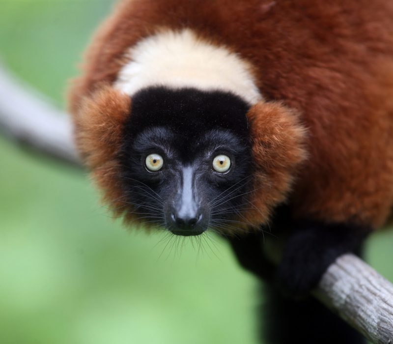 Duke Lemur Center NHE 3  Red ruffed lemur Mae (orange collar) 5/14/18 Judith (Teal) 5/14/18  Sifaka Gabe 12/23/17  Lupicina (teal collar) 1/8/15  Ring taileds Aristides (orange) 3/21/93 Lilah (arm) 3/28/05  Brady, a critically endangered blue-eyed black lemur, born 4/3/20 from Mom, Leigh (5/11/17 and Dad, Quinn 3/9/01